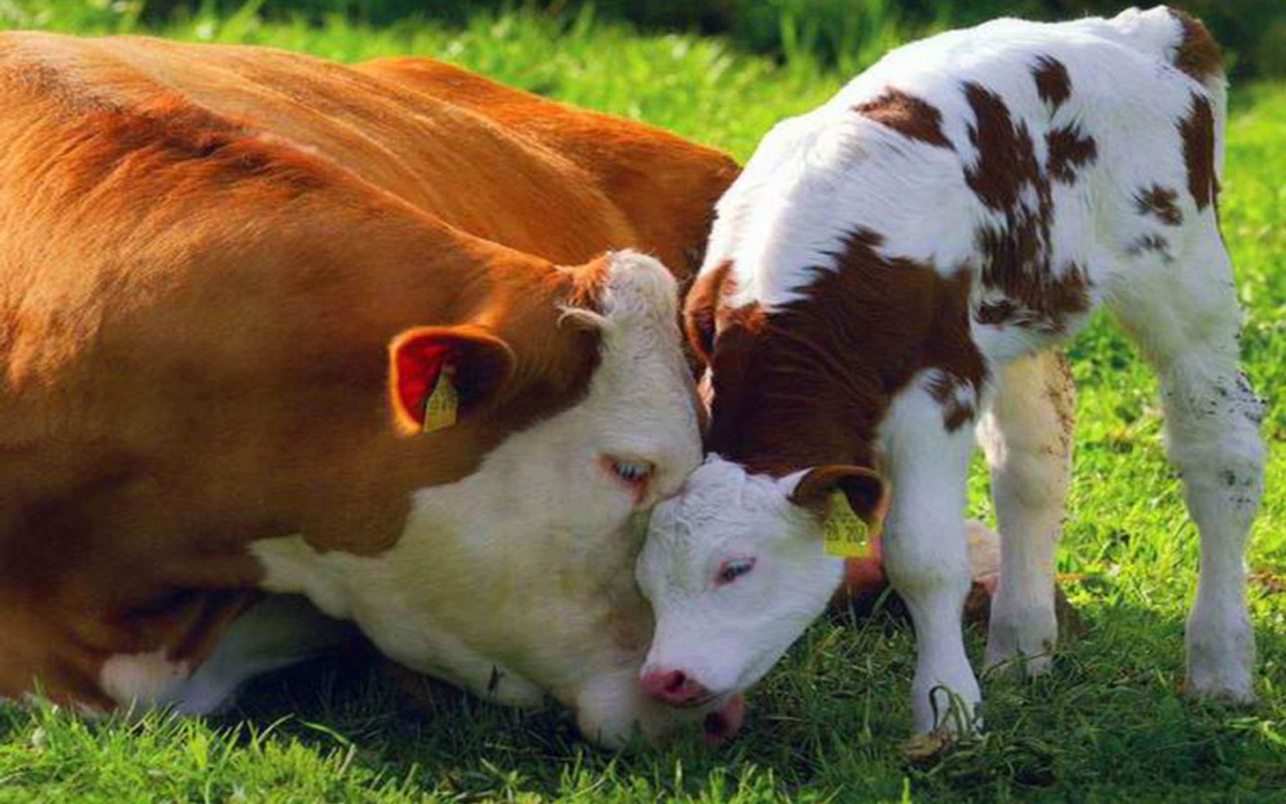 cow-and-calf-love